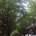 二、北海道大學銀杏並木道,深秋轉黃後更是美麗,北大每年都會為此舉辦銀杏祭。
