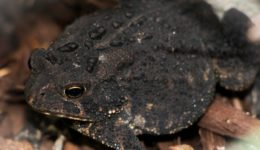 american-toad-1647886_1280